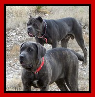 The Cane Corso Can Live In A Small Apartment So Long As It Gets Enough Daily Exercise And Activity Also Does Not Mind Living Outside Yard If